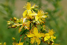 St. John's Wort no Better than Placebo in Treating Depression