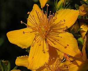 Warning with Bipolar and St. John's Wort