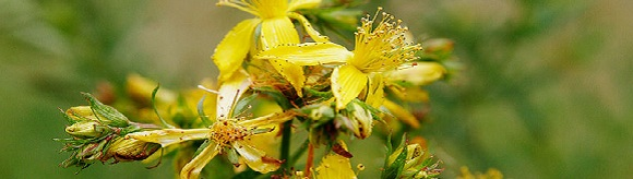 Safety Warnings for St. John's Wort